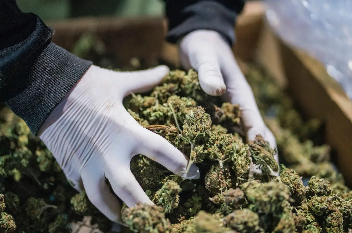 Česko (CR) schválilo limit THC do 1 percenta (%)